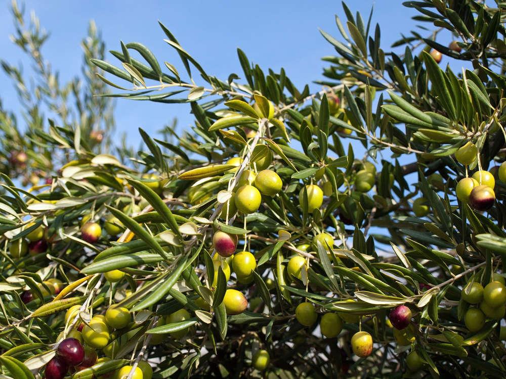 La ruta del aceite de oliva